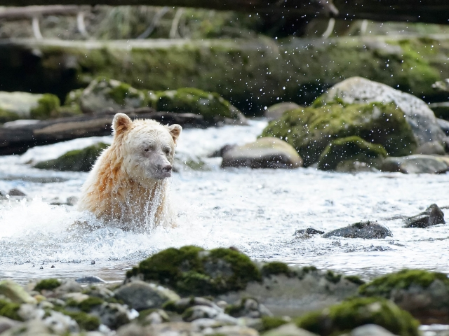 Spirit Bear - Swimming