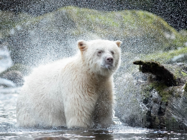 Spirit Bear - Water Spray