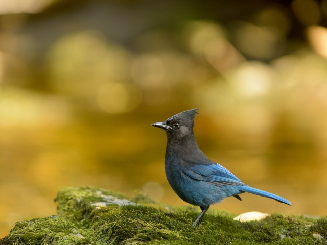 Steller's Jay - Side Profile