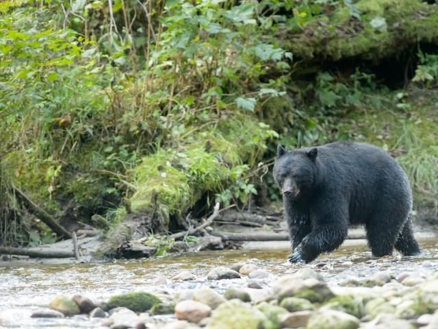 Black Bear - On the Move
