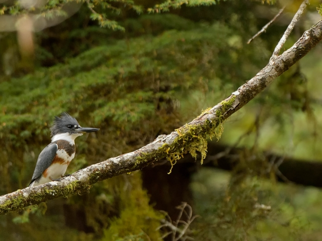 Belted Kingfisher (Female) -Perched on a Mossy Branch