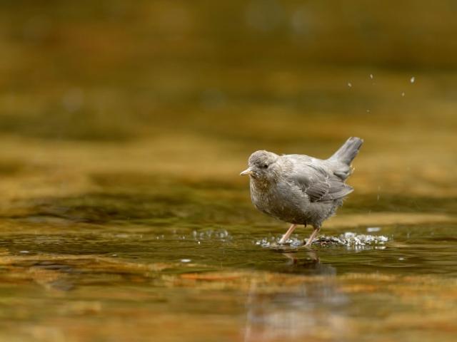 American Dipper - In Tranquil Stream