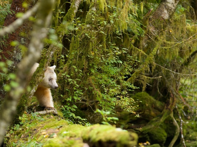 Spirit Bear - In The Forest