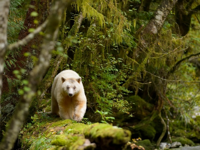 Spirit Bear - Walk on the Log