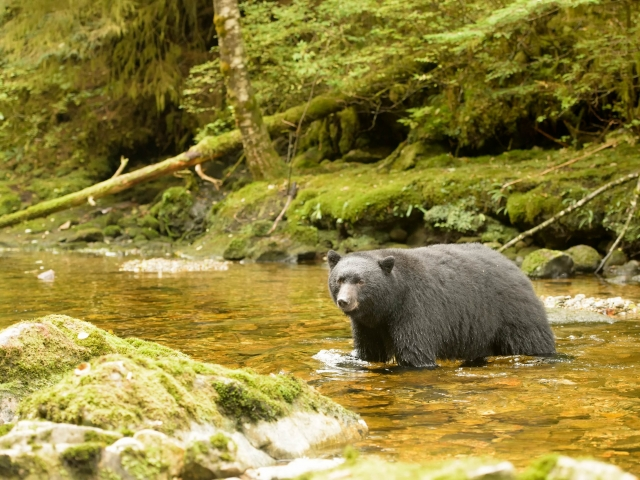 Black Bear - Crossing the Stream