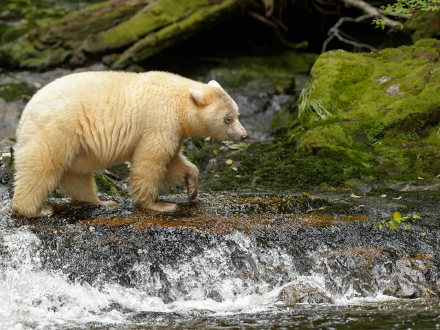Spirit Bear - One Paw at a Time