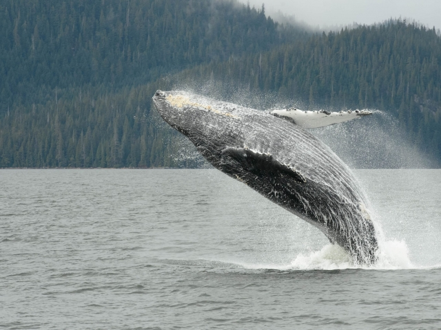 Humpback Whale - Jump for Fun