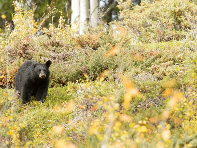 Black Bear Golden Meadow