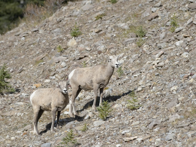 Bighorn Sheep In Camouflage