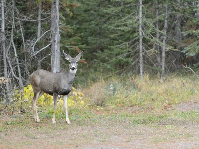 Waterton - White Tailed Deer in the Forest