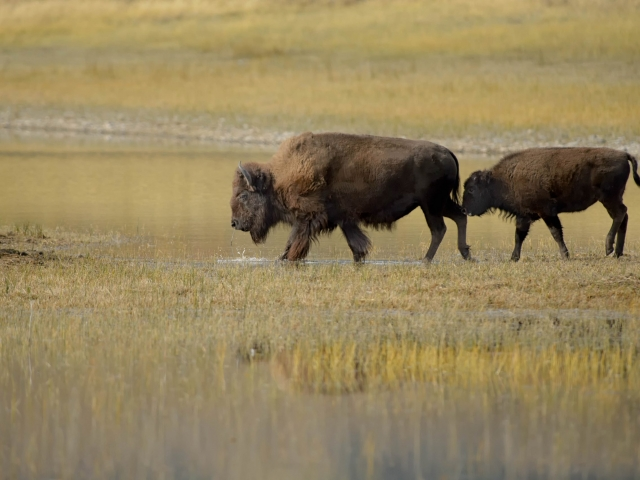 Bison with Calf - Where You Go, I Go