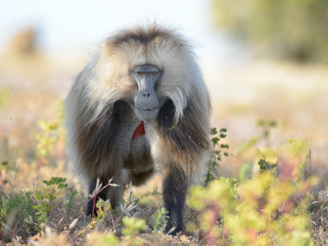 Gelada - Head on