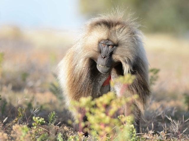 Gelada - Patrolling the Perimeter