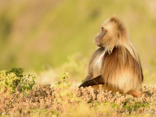 Gelada - Peaceful Reflection