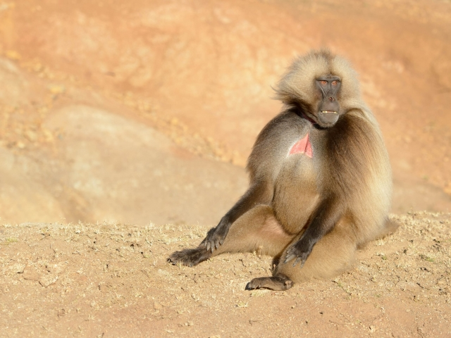 Gelada - Where's the Party
