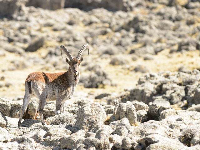 Walia Ibex - On The Rocks