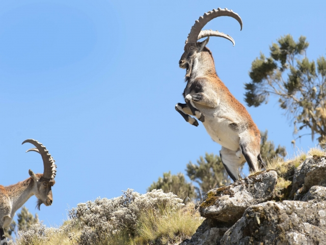 Walia Ibex - King of the Siemen Mountains