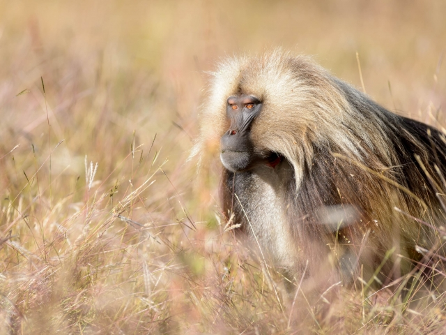 Gelada - On Guard