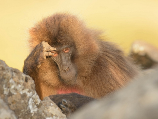 Gelada - I Think Therefore I am