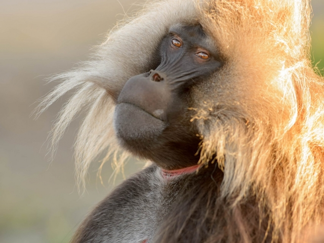 Gelada - Bad Hair Day