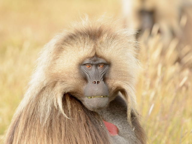 Gelada - Here's Looking at You Looking at Me