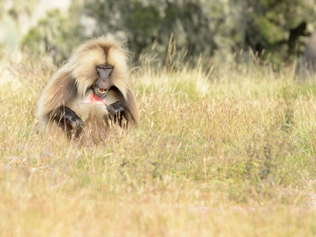 Gelada - Crazy Hungry
