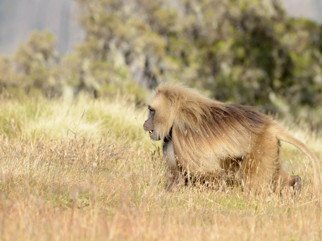 Gelada - On the Run