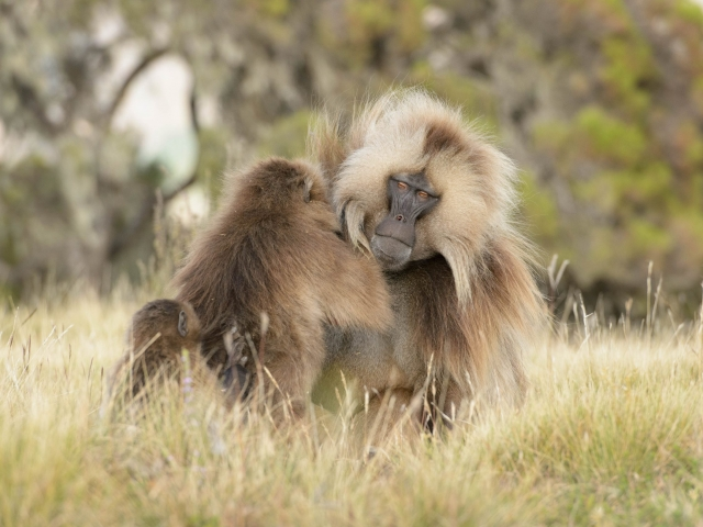 Gelada - Affectionate Allogrooming