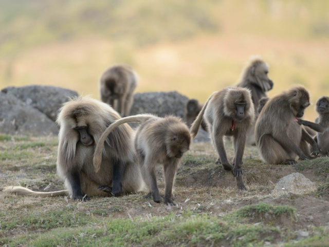 The Hustle and Bustle of the Gelada Clan