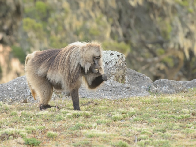 Gelada - YES! I Did it!