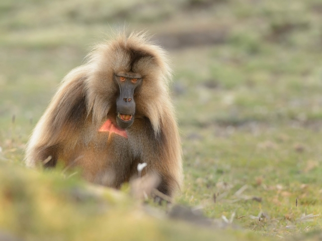 Gelada - Do I Look Like I'm Joking?