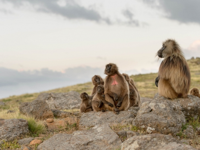 Gelada - Family in Harmony