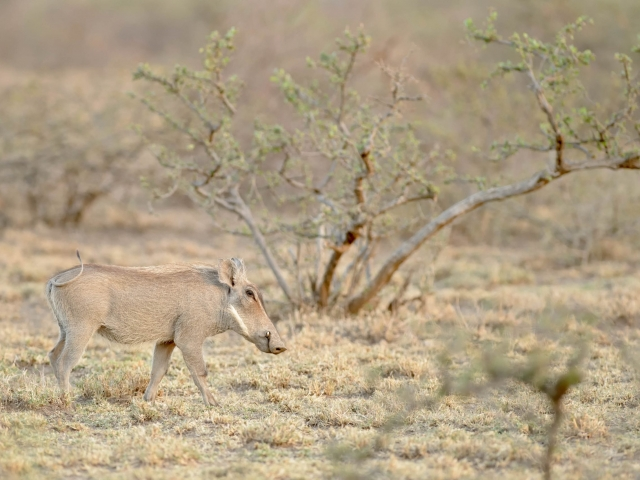Warthog At Awash National Park