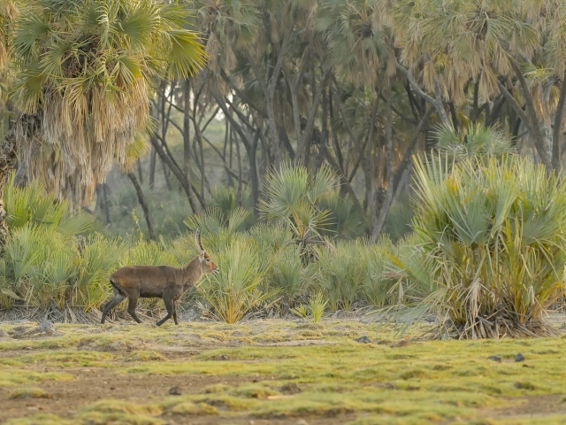 Waterbuck in the Palms