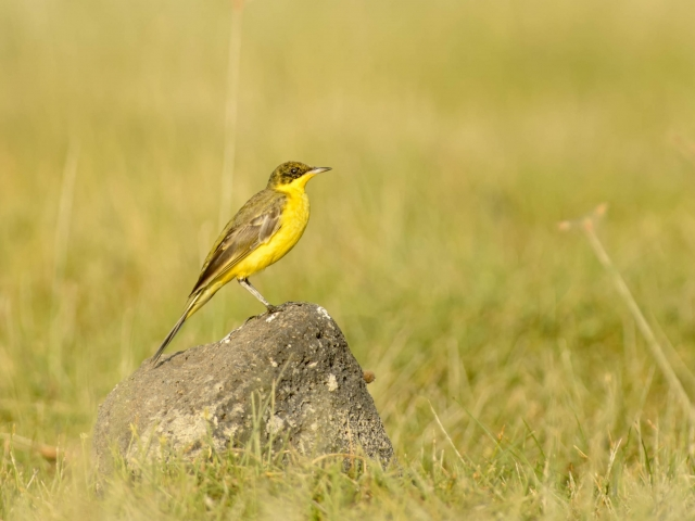 Baglafecht Weaver On Rock