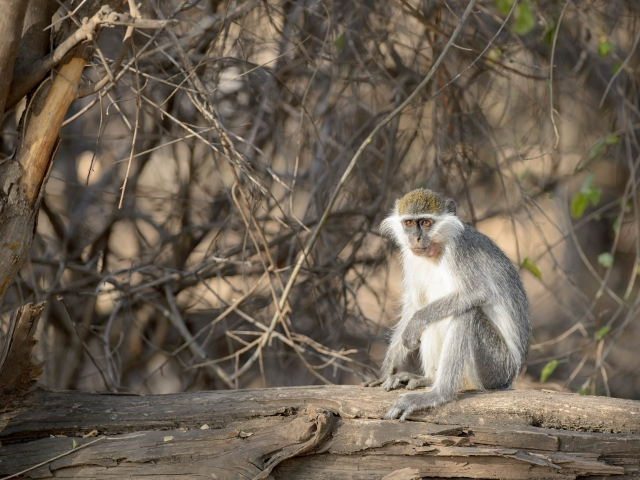 Vervet Monkey - On the Log