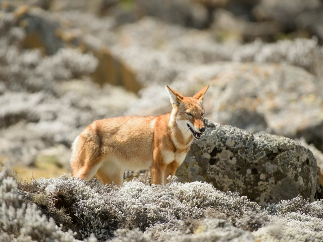 Simien Wolf -  Rat Tails