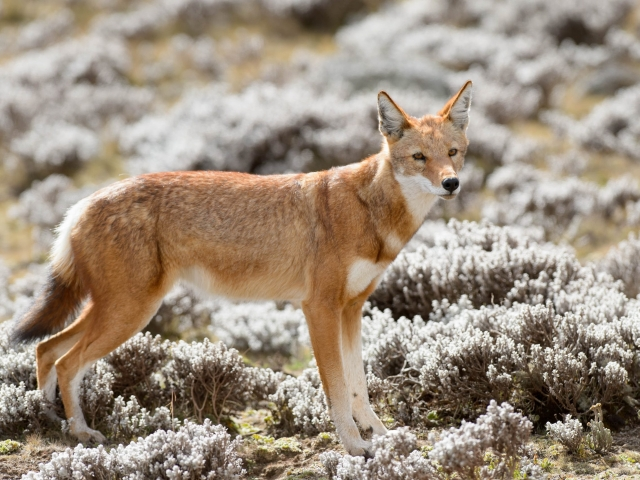 Simien Wolf in Bale Mountains