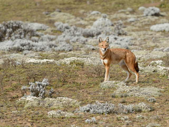 Simien Wolf on Bale Mountain Slopes