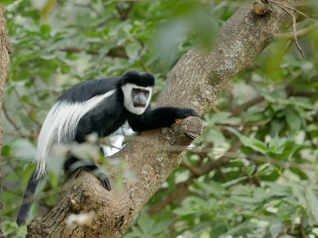 Colobus Monkey - One giant leap for Monkind