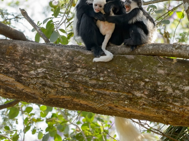 Colobus Monkey - Family Party