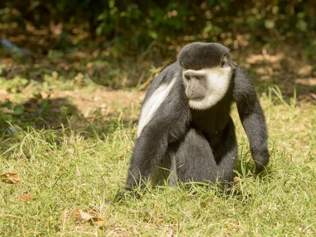 Colobus Monkey - From the Ground Up