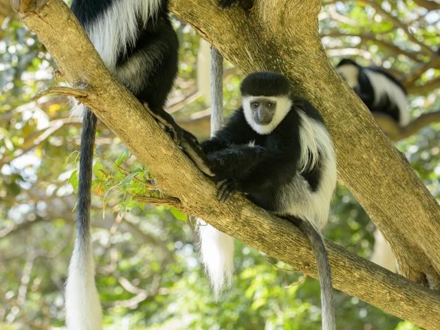 Colobus Monkey - Bell Ringers!