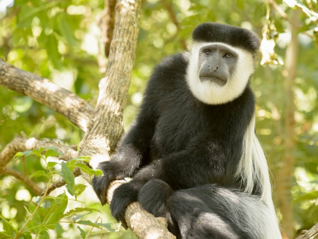 Colobus Monkey - I Wonder