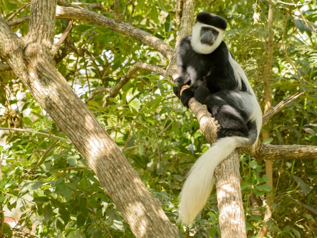Colobus Monkey - Solitary Moment