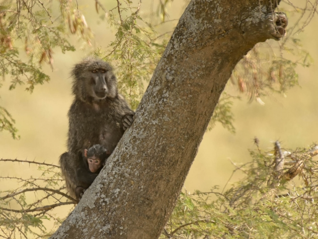 Olive Baboon with Infant