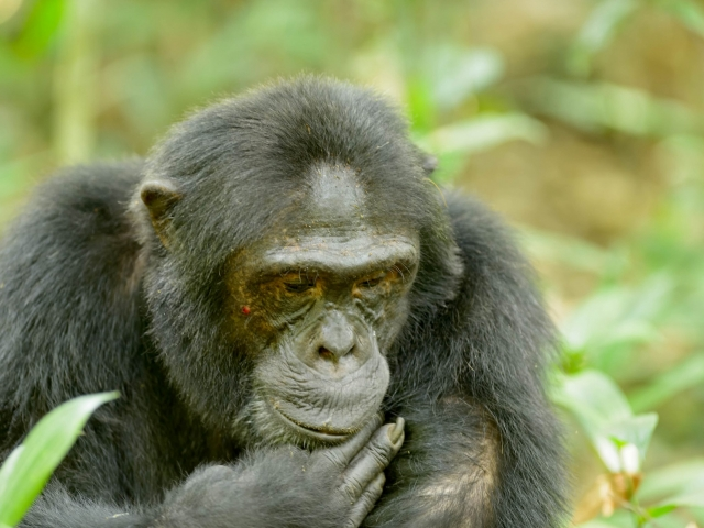 Chimpanzee - Deep in Thought