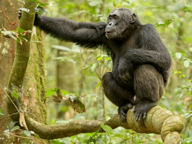 Chimpanzee - Squat on a Knotted Branch