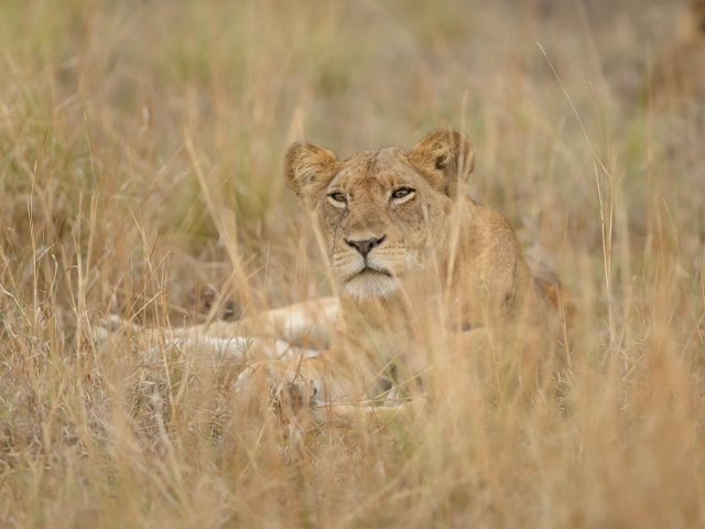Lion - Looking Through The Grass