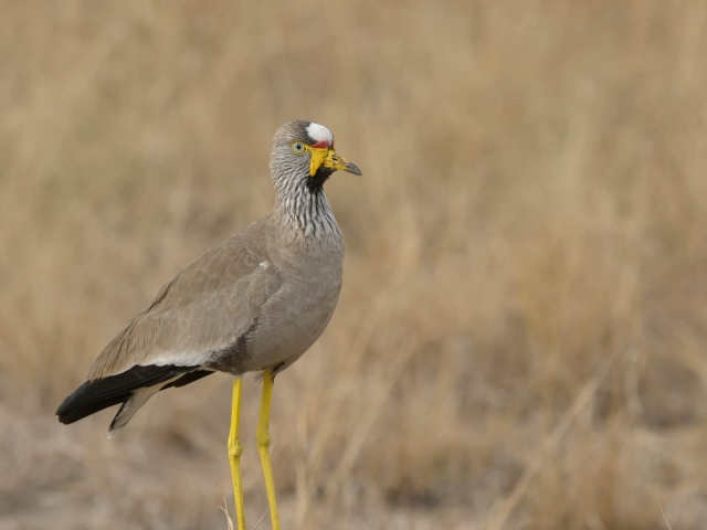 Yellow-Wattled Lapwing - Lean and Mean